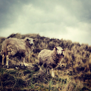 schafe, sheep,sylt,deich,nordsee,sh,waldbrand® Media, fotografie, landschaftsfotografie, tierfotografie,photography