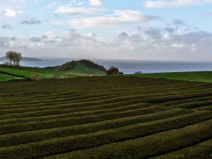 Plantagen,Teeplantage, tee, tea, feld, felder, pflanzen, teepflanze, lizenzfrei fotos, azoren, sao miguel