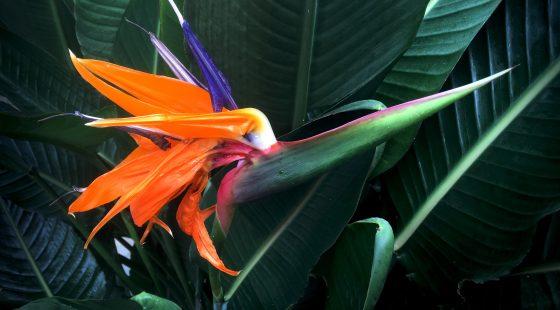 Strelitzie, blume, pflanzen, fotos, grafik, design, free stock images, grafikdesign, lizenzfrei, fotografie, flora, floristik